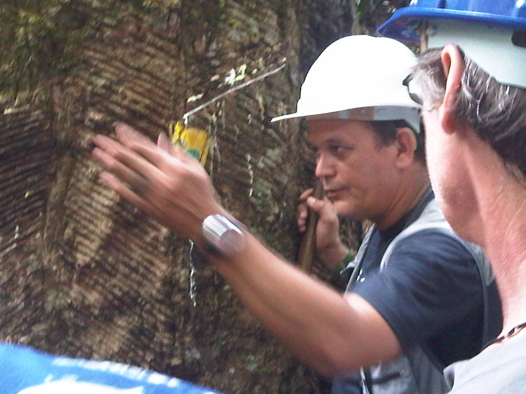 Rubber Tapping In Xapuri Climate Action Reserve
